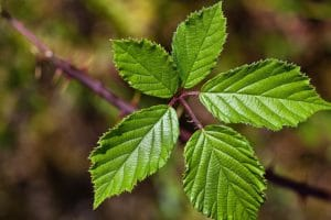 Health Benefits of Blackberry Leaves